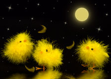 Baby Chicks - Night Stock Photography