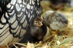 Baby chicks Stock Image