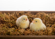 Baby Chicks. Two baby chickens in a wooden crate Stock Photos