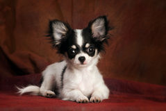 Baby chihuahua. Portrait of a little black & white chihuahua puppy simply lying on a reddish brown backdrop, looking straight at the camera Stock Photo