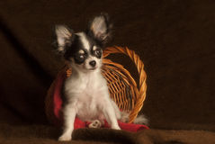 Baby chihuahua in a basket Stock Images