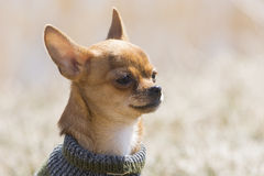 Baby chihuahua Stock Photo