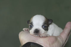 Baby chihuahua Stock Image