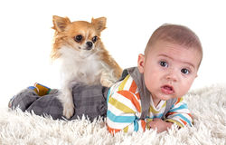 Baby and chihuahua. Three months baby and chihuahua in front of white background Royalty Free Stock Photo