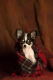 Baby chihuahua wrapped in a red scarf Stock Images