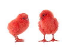 Baby chikens Royalty Free Stock Photos