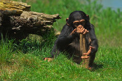 Baby chimp playing with sand. Baby chimpanzee playing with sand close to a stump Stock Images