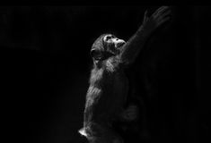 Baby Chimp reaching up. A baby chimp reaching up Royalty Free Stock Images
