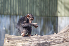Baby Chimpanse. Baby Chimp sitting on a tree trunk Stock Image