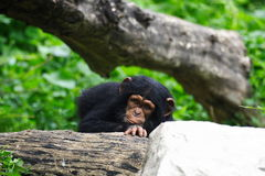 Baby chimpanzee Royalty Free Stock Images