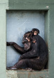 Baby chimpanzee. Cute baby chimpanzee with mother (Pan troglodytes Royalty Free Stock Image