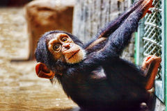 Baby  Chimpanzee apes  . Stock Image