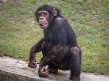Baby chimpanzee in close up at an animal sanctuary in India. A baby chimpanzee in a playful mood at an animal sanctuary in India. Chimps among all monkey species Stock Image