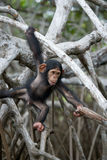 A baby chimpanzee on mangrove branches. Republic of the Congo. Royalty Free Stock Images