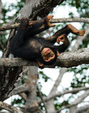 A baby chimpanzee on mangrove branches. Republic of the Congo. Conkouati-Douli Reserve. Royalty Free Stock Photo