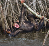 A baby chimpanzee on mangrove branches. Republic of the Congo. Conkouati-Douli Reserve. Stock Photography