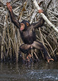 A baby chimpanzee on mangrove branches. Republic of the Congo. Conkouati-Douli Reserve. Royalty Free Stock Photos