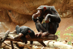 Baby chimpanzee playing next to mother. Baby chimpanzee playing while mother is eating Royalty Free Stock Photography
