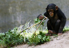 Baby Chimpanzee Royalty Free Stock Photos