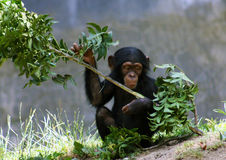 Baby Chimpanzee Royalty Free Stock Photography