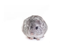 Baby chinchilla isolated on white Royalty Free Stock Photo