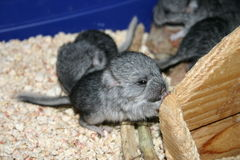 Baby chinchilla Stock Images