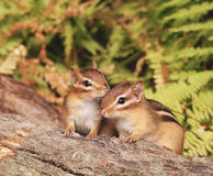 Baby chipmunk siblings Stock Images