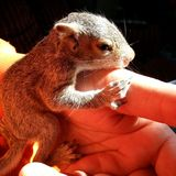 Baby Chipper. Rescue baby squirrel about 6 days old Stock Photography