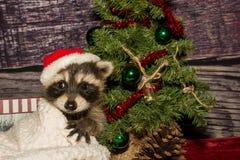 Baby Christmas Raccoon Stock Image