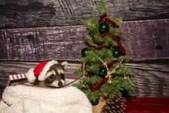 Baby Christmas Raccoon Stock Images