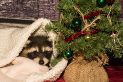Baby Christmas Raccoon Royalty Free Stock Photos