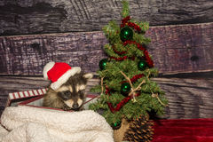 Baby Christmas Raccoon Stock Photography