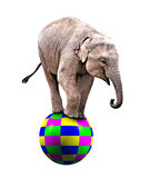 Baby circus elephant. A Baby circus elephant balancing on a big ball Royalty Free Stock Images