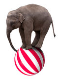 Baby circus elephant balancing on ball. A baby circus elephant balancing on a big ball Royalty Free Stock Images