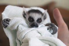 Baby cirkel-tailed makin, makicattaen som lindades i en linne, ser kameran Royaltyfri Bild