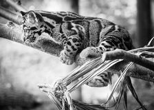 Baby Clouded Leopard at Toronto Zoo. Baby clouded leopard playing on a tree branch at the Toronto Zoo Stock Photo