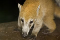 Baby coati Royalty Free Stock Images