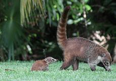Baby Coati Following Mom. A baby and it's mother White-nosed Coatis (Nasua narica) foraging just outside the jungle.  Shot in the Yucatan peninsula, Mexico Royalty Free Stock Photography