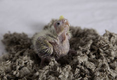 Baby cockatiel. Bird in nest Royalty Free Stock Photo