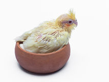 Baby cockatiel pet bird Stock Photos