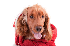 Baby Cocker Spaniel. Isolated over white royalty free stock photo