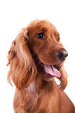 Baby Cocker Spaniel. Isolated over white background stock photo