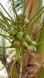 The baby coconuts on coconut tree. Stock Images