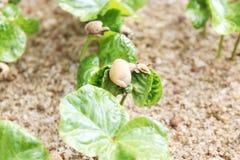Baby coffee tree Royalty Free Stock Photo