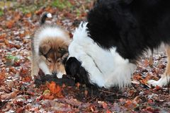 Baby collie with australian shepherd Royalty Free Stock Photos