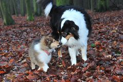 Baby collie with australian shepherd Stock Images