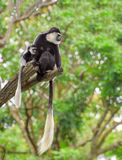 Baby colobus monkey with its mom Royalty Free Stock Image