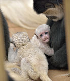 Baby Colobus monkey snuggles Royalty Free Stock Photography