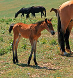 Baby Colt Mustang with mother / mare Wild Horse Stock Image