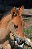 Baby Colt Mustang Wild Horse Stock Photo